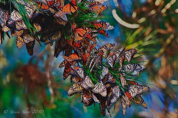 Monarch_Butterflies-Pismo-2011-3