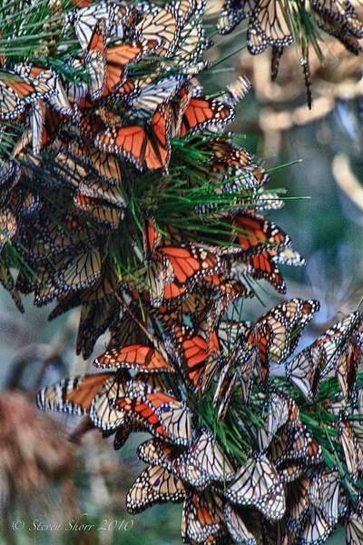 Monarch_Butterflies-Pismo-2011-2