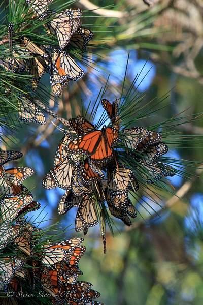 Monarch_Butterflies-Pismo-2011-1