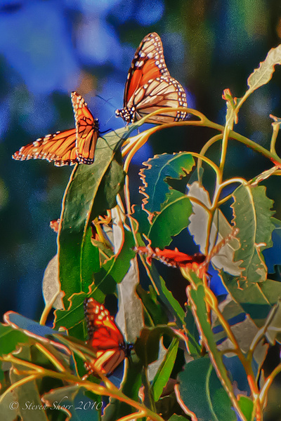 Pismo Beach Monarchs 2011 by Steven Shorr