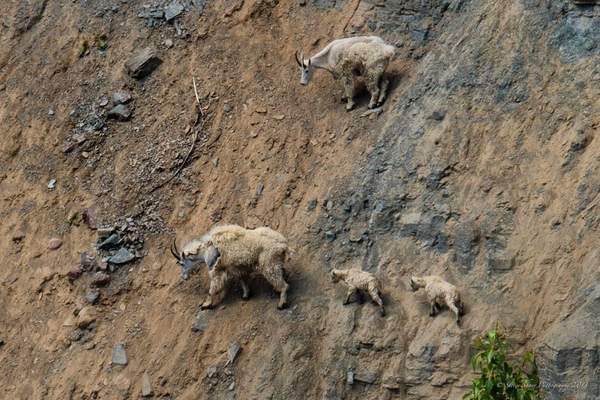 Mountain Goats-2