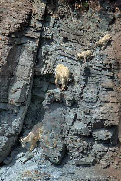 Mountain Goats-1