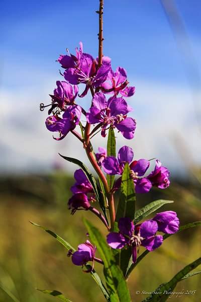 Wildflower in Alaska