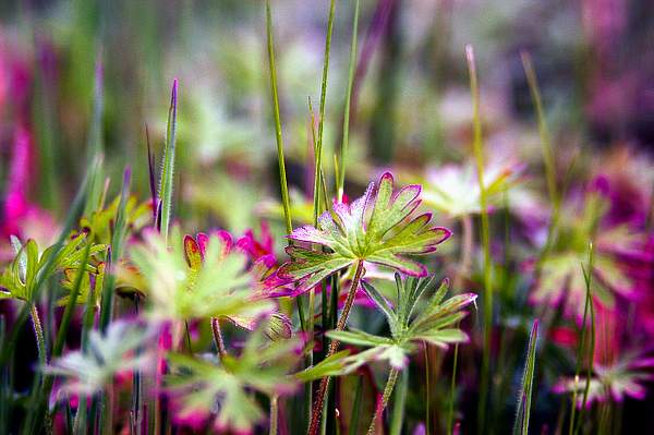Wild Flowers- Santa Cruz County