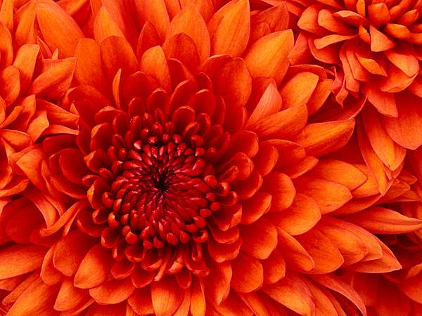 1Chrysanthemum_-_Copy