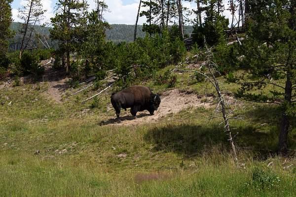 Buffalo Resting.jpg