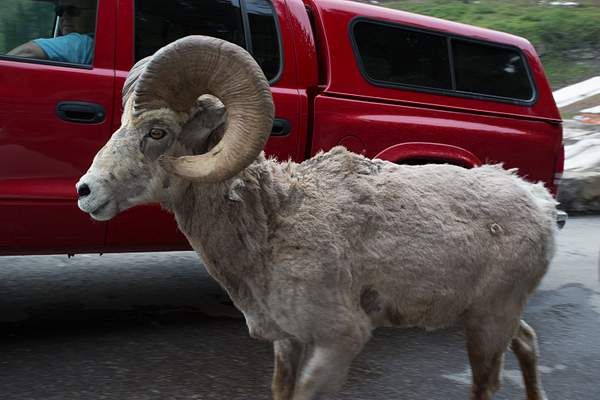 Big Horn in the Road.jpg