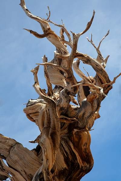 Bristle Cone Pine Closeup