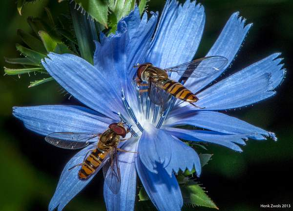 Two hoverflies sharing a flower