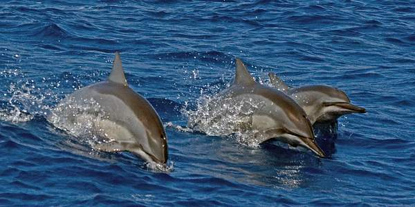 Spinner_Dolphins (Stenella_longirostris) off Maui, Hawaii