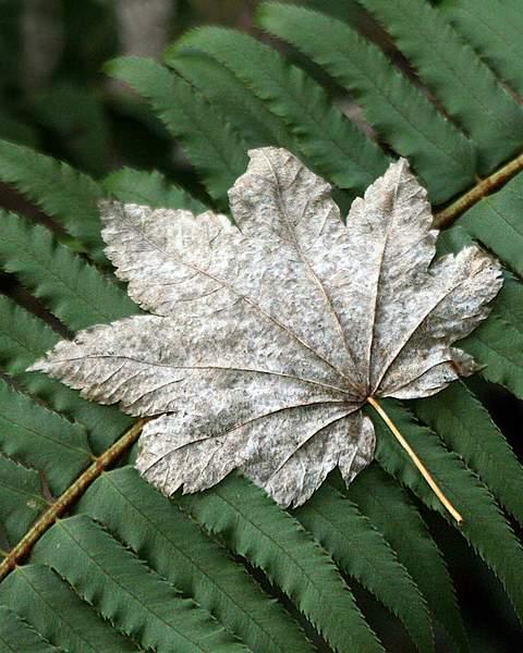 Leaf of a Bigleaf Maple (Acer macrophyllum) in Winter on Sword Fern (Nephrolepis cordifolia) in the Hoh Rainforest