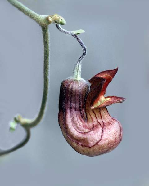 Flower of the California Pipevine (Aristolochia californica), Tilden Regional Park, Berkeley, Calif.