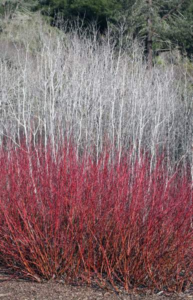Winter View of American Dogwood Against Backdrop of Quaking Aspen, Tilden Regional Park, Berkeley, California