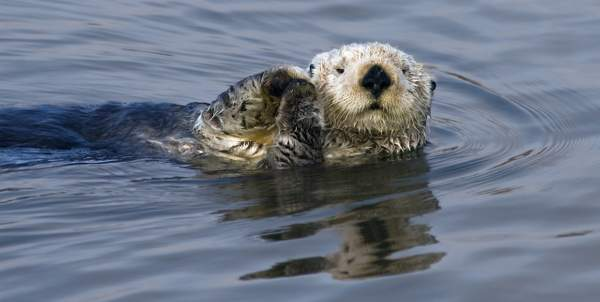Sea Otter_(Enhydra_lutris), Elkhorn Slough National Wildlife Refuge near Moss Landing, California