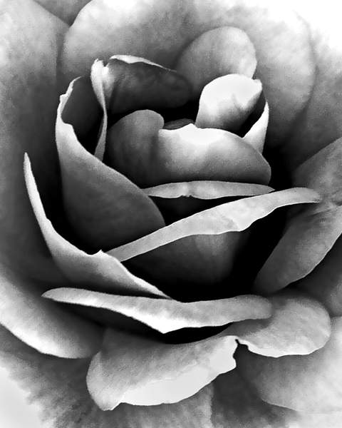 Rose Detail in Monochrome