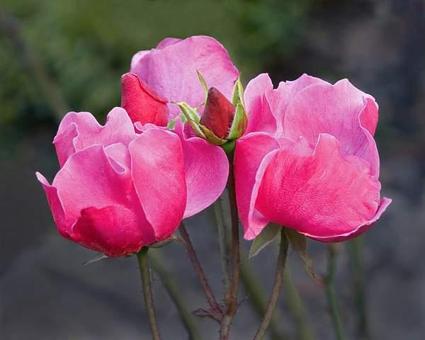 Five Pink Rose, Oakland Rose Garden