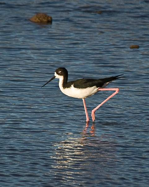 Ae'o, or Hawaiian Stilt, Endangered Species in Hawaii