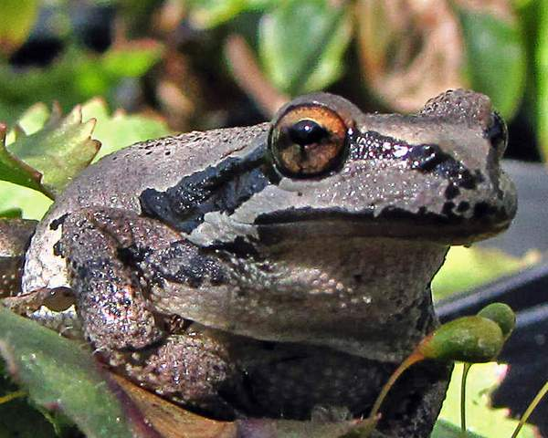 Pacific_tree_frog_at_nursery_x_(4)